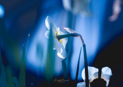 Narcissus-110420-21
