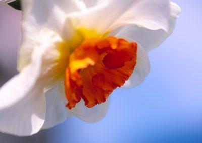 Narcissus-110420-25
