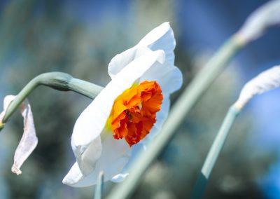 Narcissus-110420-26