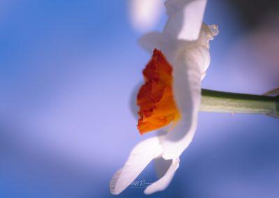 Narcissus-110420-28