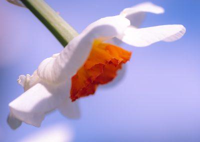 Narcissus-110420-29