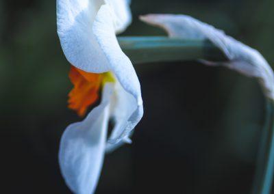 Narcissus-110420-3