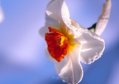 Narcissus-110420-30