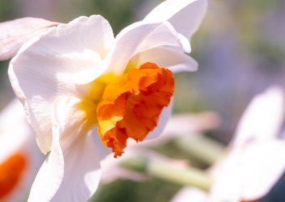 Narcissus-110420-33