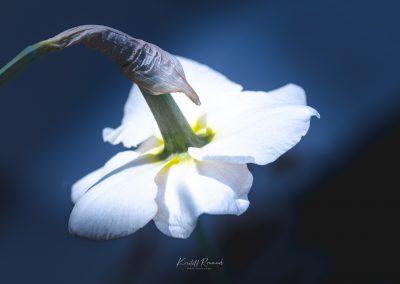 Narcissus-110420-35