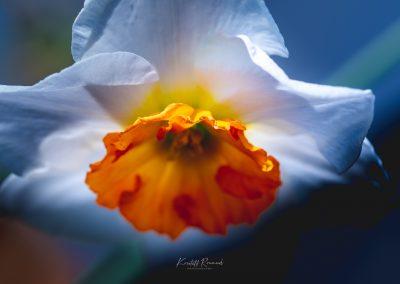 Narcissus-110420-36