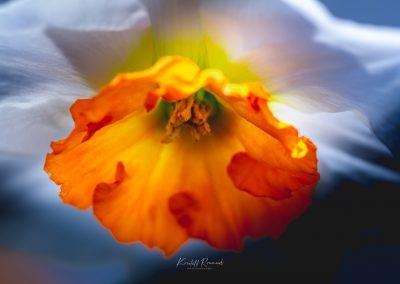 Narcissus-110420-37