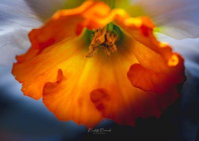 Narcissus-110420-38