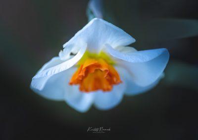 Narcissus-110420-4