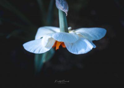 Narcissus-110420-41