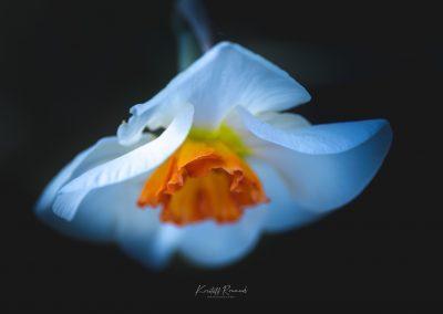 Narcissus-110420-6