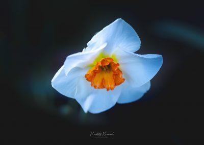 Narcissus-110420-7