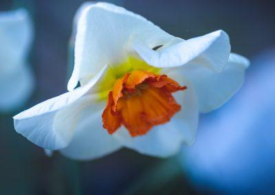 Narcissus-110420-8