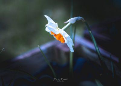 Narcissus-110420-9